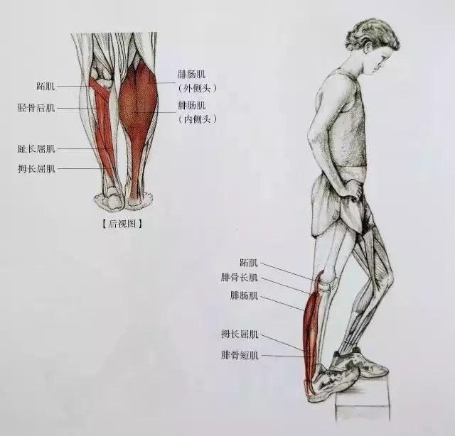 下面是小腿的肌肉结构图,可以简单了解一下