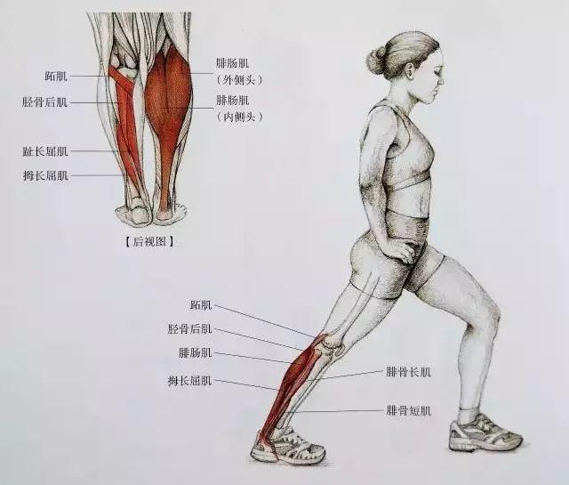 人物·周刊 健身计划      下面是小腿的肌肉结构图,可以简单了解一下