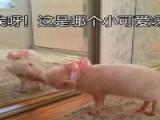 比起鸡肉牛肉,吃瘦猪肉的增肌效果更好?终于真相了!