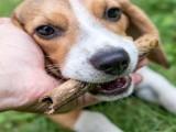 狗狗生病免疫力低是怎么回事,羊初乳蛋白粉助强化免疫系统