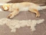 狗狗掉毛是什么原因?五个方法加宠物美毛膏防止掉毛